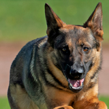 A Virginia construction worker saved a dying German Shepherd stuck in a traffic jam by giving him mouth-to-mouth