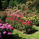 A Year In The Portland Rose Garden