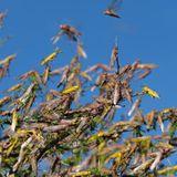 Gigantic new locust swarms hit East Africa