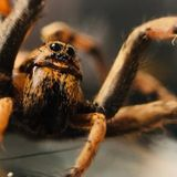 Arctic Wolf Spiders May Be Starting to Eat Themselves in Disturbing Dietary Shift