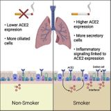 Cigarette smoke exposure and inflammatory signaling increase the expression of the SARS-CoV-2 receptor ACE2 in the respiratory tract
