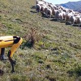 Watch a robot dog herd sheep on a New Zealand farm