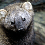 Pacific fisher denied protection on California's North Coast