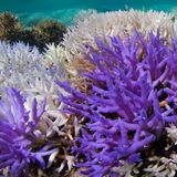 Vibrantly colorful coral revealed as a last-ditch survival response