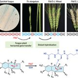 Horizontal gene transfer of Fhb7 from fungus underlies Fusarium head blight resistance in wheat