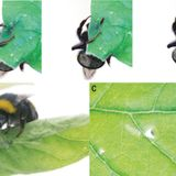Bumble bees damage plant leaves and accelerate flower production when pollen is scarce