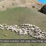 Robot dog manages flock of sheep. Video sparks uneasy thoughts among people
