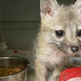 Tempe family saved baby fox that followed them home