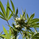 New Mexico Governor Says Legalizing Marijuana Would've Funded Programs Cut Due To Coronavirus