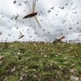Locust attack: In a first, drone used to clear locust swarms in Chomu | India News - Times of India