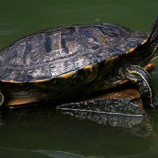 Help protect turtles on the move in Wisconsin