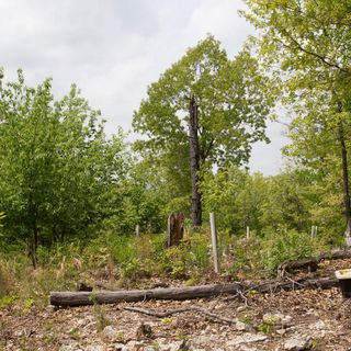 A legendary Ozark chestnut tree, thought extinct, is rediscovered
