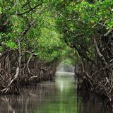 Rapid sea level rise could drown protective mangrove forests by 2100