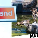 Iceland supermarket adopts Chester Zoo's penguins to help the struggling venue