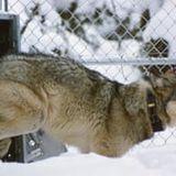 A rewilding triumph: wolves help to reverse Yellowstone degradation