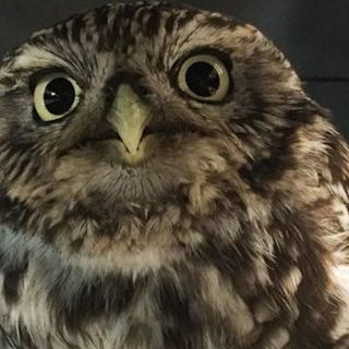 Rescued Owl 'Too Fat To Fly' Put On A Diet By British Wildlife Sanctuary