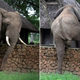 Elephant carefully clambers over 5ft wall in attempt to steal mangoes