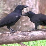 Like humans, these big-brained birds may owe their smarts to long childhoods