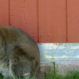 Wallaby on the loose in Aurora could be from Larkspur farm 25 miles away