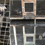 Civets locked in tiny cages to make 'world's most expensive coffee'