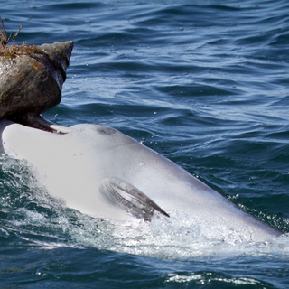 Dolphins learn unusual hunting behavior from their friends