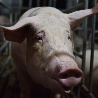 New swine flu with 'pandemic potential' discovered in China