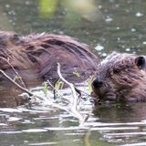 Beavers are gnawing away at the Arctic permafrost, and that's bad for the planet