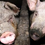 New swine flu with 'pandemic potential' discovered in China once more