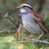 Catchy Sparrow Song Goes 'Viral' Across Canada in Continent-Wide Phenomenon