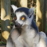 Walking with lemurs can reduce psychological and physiological stress