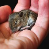 Poor sleep could clog your arteries. A mouse study shows how that might happen