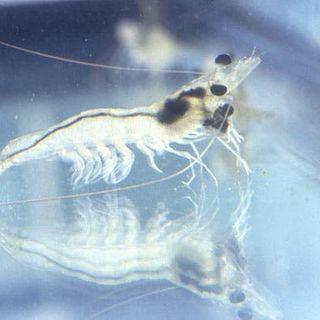 Tiny Little Shrimp Could Spark Huge Energy Storage Breakthrough